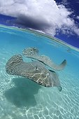 Pink whip rays in the lagoon Tahaa French Polynesia