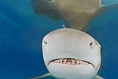 Lemon Shark, Atlantic Ocean, Bahamas