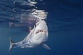 Shortfin Mako Shark, San Diego, East Pacific Ocean, California, USA