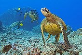 Green Sea Turtles, being cleaned by yellow tang and gold-ring surgeonfish, Kona Coast, Big Island, Pacific Ocean, Hawaii, USA