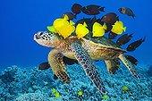 Green Sea Turtle cleaned by Surgeonfishes, Kona Coast, Big Island, Pacific Ocean, Hawaii, USA