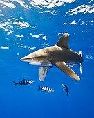 Oceanic Whitetip Shark with Pilot Fish, Big Island, Kona Coast, Hawaii, USA