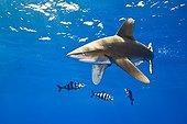 Oceanic Whitetip Shark with Pilot Fish, Pacific Ocean, Hawaii, USA