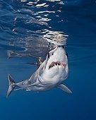 Aggressive Shortfin Mako Shark, Big Island, Kona Coast, Hawaii, USA