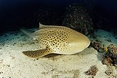 Zebra Shark, Leopard Shark, Similan Islands, Andaman Sea, Thailand