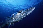 Great Barracuda, Richelieu Rock, Similan Islands, Andaman Sea, Thailand
