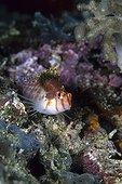 Isopod Parasite on Coral Hawkfish, Komodo National Park, Lesser Sunda Islands, Indo-Pacific, Indonesia