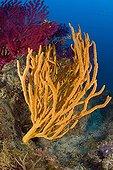 Orange Sponge, Massa Lubrense, Sorrentine Peninsula, Campania, Thyrrhenian Sea, Mediterranean Sea, Italy