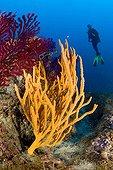 Scuba Diver and Orange Sponge, Massa Lubrense, Sorrentine Peninsula, Campania, Thyrrhenian Sea, Mediterranean Sea, Italy