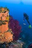 Diver at Rock coverd with Encrustating Red Sponge, Pantelleria Island, Mediterranean Sea, Italy