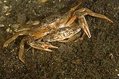 Mating of Portunid Crab, Stromsholmen, Atlantic Ocean, Norway