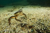 Portunid Crab, Stromsholmen, Atlantic Ocean, Norway
