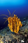 Crinoid on Yellow Sponge, Vela Luka, Korcula Island, Dalmatia, Adriatic Sea, Croatia