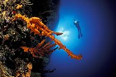 Yellow Sponge and Scuba Diver, Vela Luka, Korcula Island, Dalmatia, Adriatic Sea, Croatia