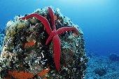 Red Starfish with growing Arm, Vela Luka, Korcula Island, Dalmatia, Adriatic Sea, Croatia