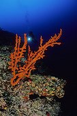 Red Sponge, Vela Luka, Korcula Island, Dalmatia, Adriatic Sea, Croatia