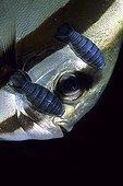 Isopod Parasites on Bat Fish, Wakatobi, Celebes, Indo-Pacific, Indonesia