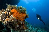 Scuba Diver and Rock covered with Encrustating Red Sponge, Ponza, Mediterranean Sea, Italy