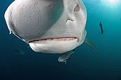 Pores with Ampullae of Lorenzini in Snout of Tiger Shark, Aliwal Shoals, Kwazulu-Natal, Indian Ocean, South Africa
