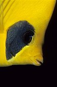Masked Butterflyfish, Red Sea, Egypt