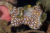 Colony of Tunicate Stolidobranchs, Lembeh Strait, Sulawesi, Indonesia