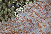 Porcelain Crab in Anemone, North Sulawesi, Indonesia