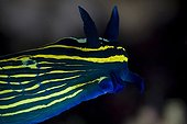 Blue-Green Neon Nudibranch, North Sulawesi, Indonesia