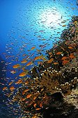 School of lyretail Anthias and Red Fire Coral, El Quseir, Red Sea, Egypt