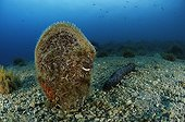 Noble Pen Shell, Cres Island, Mediterranean Sea, Croatia