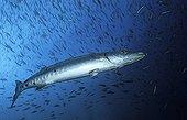 Great Barracuda, Nabucco, Kalimantan, Indonesia