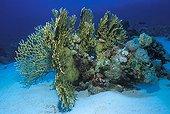 Net Fire Corals, Sharm el Sheikh, Sinai, Red Sea, Egypt