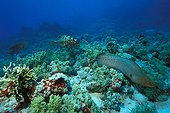 Giant Moray and Leopard Grouper in Coral Reef, Ras Mohammed, Sinai, Red Sea, Egypt