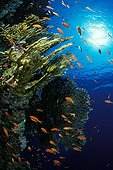 Fire Corals and Anthias, Dahab, Sinai, Red Sea, Egypt