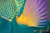 Pectoral Fin of Bicolor Parrotfish, Ari Atoll, Indian Ocean, Maldives