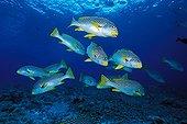 Diagonal-banded Sweetlips, Tubbataha Reef, South Atoll, Sulu Sea, Philippines