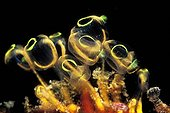 colony of Tunicates, South Pacific, Solomones Islands
