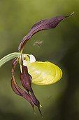 Insect in flight over Lady's Slipper Orchid France