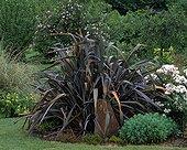 New Zealand flax 'Purpureus' and Stonecrop