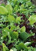 Salads Mesclun
