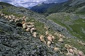 Sheep carcass after a storm blasted France ; In the PN Mercantour August 5, 2006 more than 200 sheep were struck by lightning during a summer hailstorm of unprecedented violence in the Col de la Bonnette at lake level to 2400 m Eissaupres Upper Ubaye. This massacre is probably due to the fact that the animals were massed against one another when the lightning struck.
