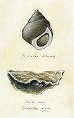 Pacific oyster and Periwinkle ; Watercolour on tinted paper