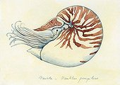 Drawing of a Chambered Nautilus ; Watercolour on tinted paper