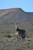 Cape Mountain Zebra Karoo National Park South Africa