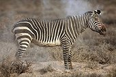 Cape Zebra snorting Karoo National Park South Africa ; Zebra Cape snorting after rolling on the ground in an area of loose soil