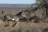 Cape Zebra running Karoo National Park South Africa