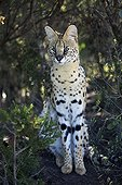 Serval Rehabilitation Centre TenikwaSouth Africa ; Rehabilitation Centre Tenikwa collects cats in order to relocate them in the wild, except disability.