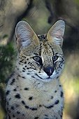 Portrait Serval Rehabilitation Centre TenikwaSouth Africa ; Rehabilitation Centre Tenikwa collects cats in order to relocate them in the wild, except disability.