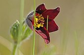 Pasque flower in spring in Haute-Loire France