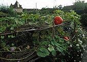 Potiron dans un jardin potager médiéval