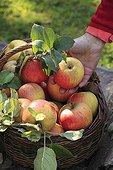 Harvest of apples 'Reine des reinettes' in a garden
